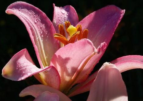 Lilie als Symbol der Bewusstwerdung im psychotherapeutischen Prozess